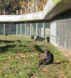 Chimps at Monkey World