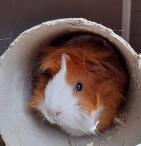 a ginger guinea pig sitting in a cardboard tube