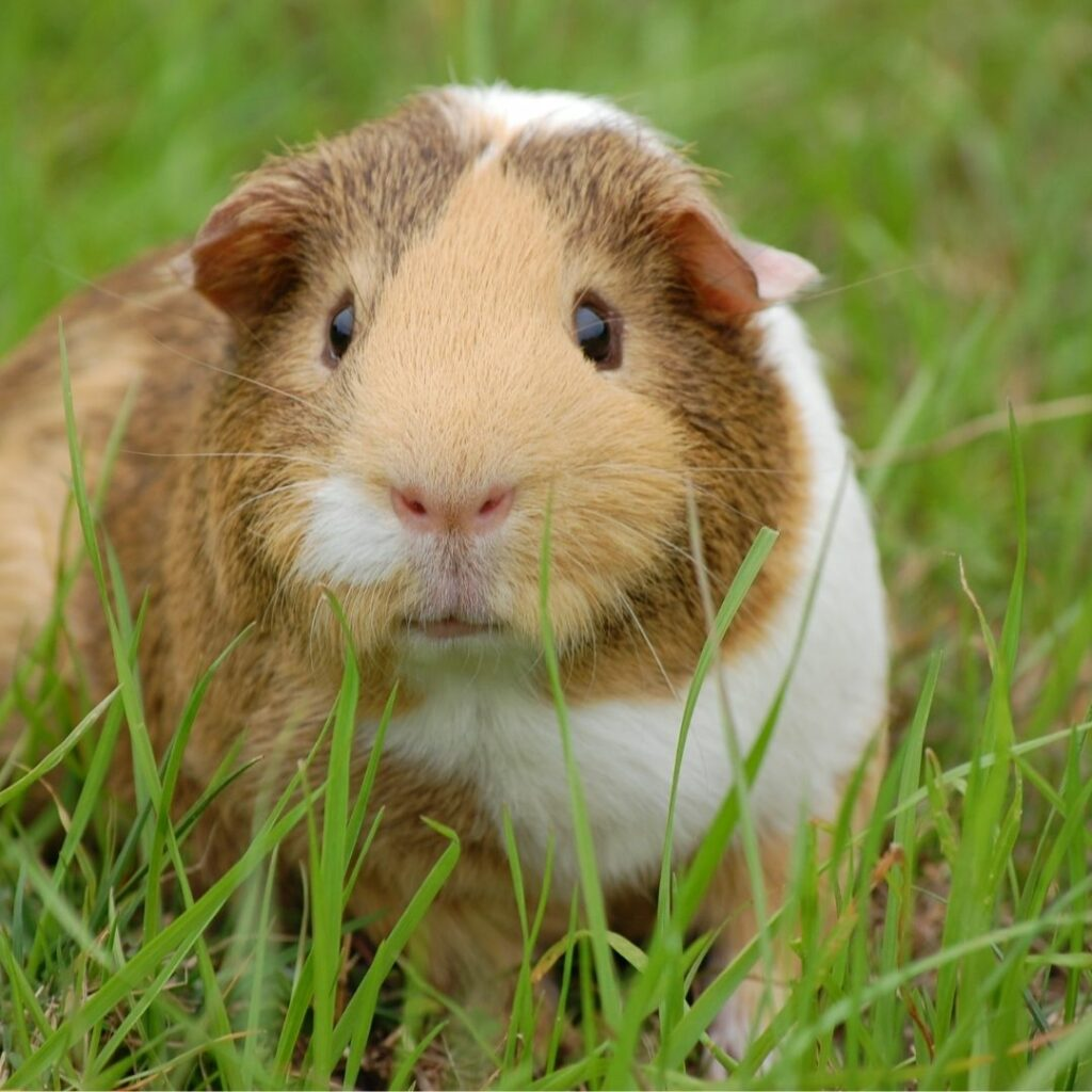 A brown and white guinea pig sitting on grass and looking towards the camera