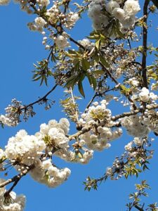 A photograph of beautiful white and pink blossom against the background of a bright blue sky